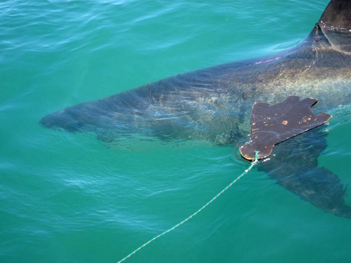 shark8