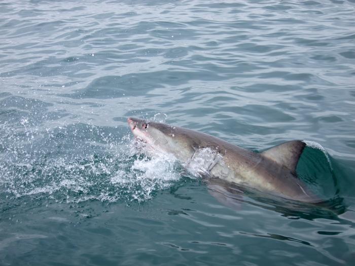 shark9