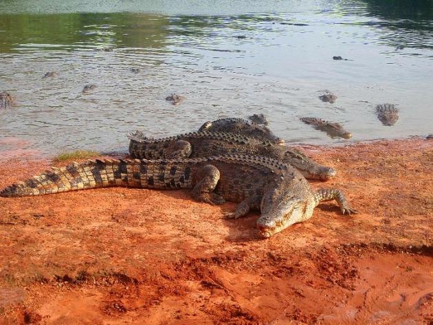 Crocodiles, Western Australia