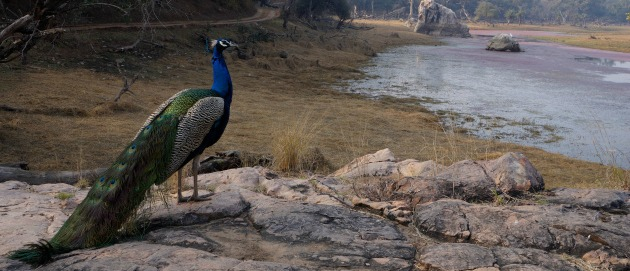 Ranthambore National Park Peacock